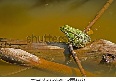 Marsh frog in water #148825589