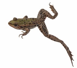 Marsh Frog,  jump, isolated on white background, Pelophylax ridibundus