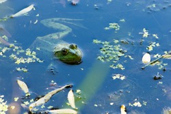 Marsh frog, Pelophylax ridibundus, in nature habitat. Wildlife scene from nature, green animal in water. Beautiful frog in dirty water in a swamp. close-up