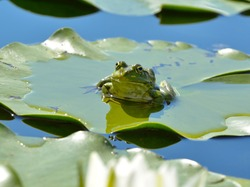Marsh frog sits on a green leaf among waterlilies in the pond