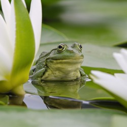 Marsh frog sits on a green leaf among white lilies on the lake