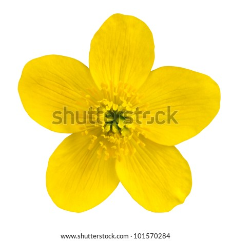 Marsh Marigold Yellow Flower Isolated on White Background. Caltha Palustris Macro Detail