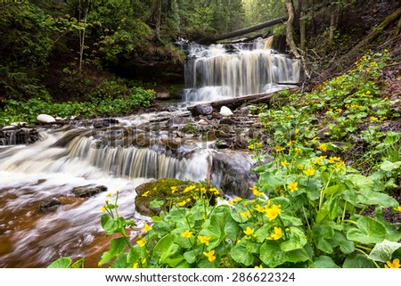 Marsh marigolds are in full bloom at Wagner Falls Scenic Site near Munising Michigan in the Upper Peninsula. The spring rains run swiftly over this scenic waterfall near Pictured Rocks.