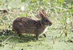 Marsh Rabbit feeds in Florida wetlands