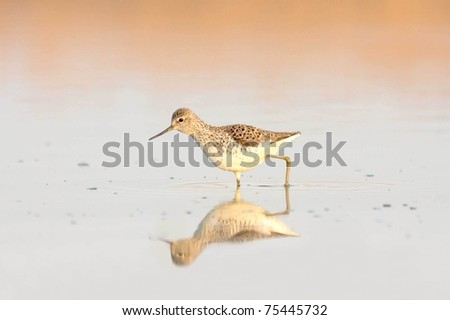 Marsh Sandpiper (Tringa stagnatilis) bird with reflection over water