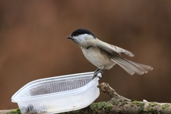 Marsh tit has landed on empty the feeder ...