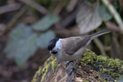 Marsh Tit ,Poecile palustris perched on a mossy tree stump.