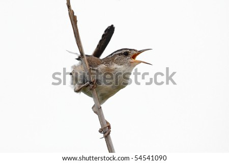 Marsh Wren (Cistothorus palustris) on a reed - Isolated on a white background