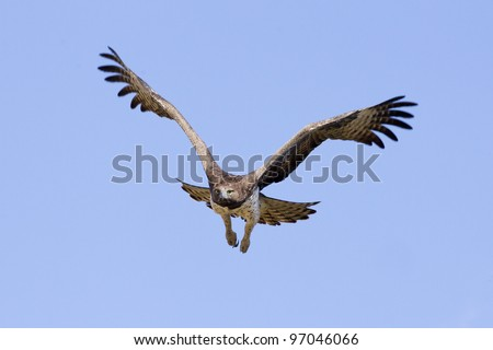 Martial Eagle in flight (Polemaetus bellicosus)