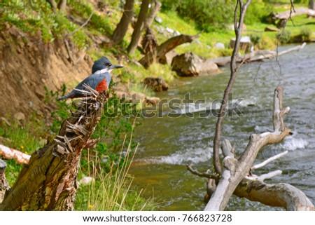 Stock Photo Martin Fisherman in the Olivia River, Ushuaia - Tierra del Fuego