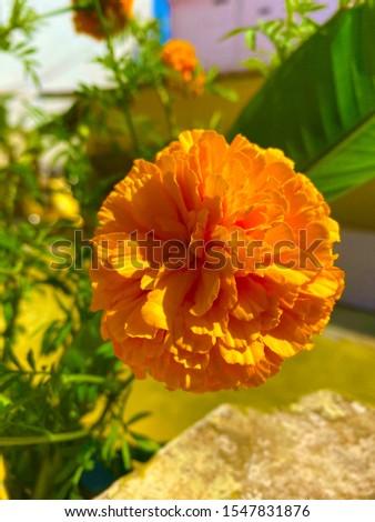 mary glod flower, Flower,  Flowers,