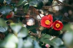 Maryang-ri Camellia Forest in Seocheon, Korea