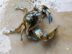 Maryland Blue Crabs - Steamed Crabs