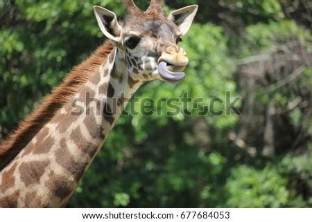 Masai giraffe calf #677684053