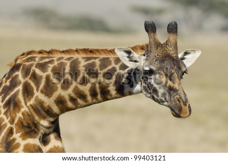 Masai Giraffe (Giraffa camelopardalis tippelskirchi) in Tanzania's Serengeti Park