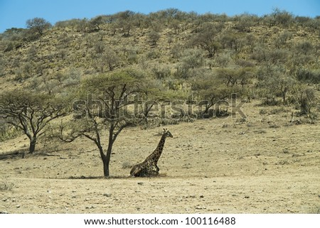 Masai Giraffe, Jiraffa camelopardalis under acacia in Tanzania