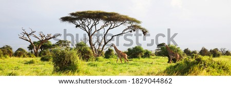 Masai Giraffe, Massai-Giraffe in Amboseli National Park, Kenya, Africa ストックフォト ©