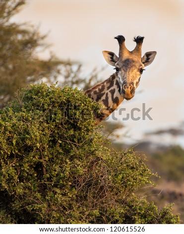 Masai giraffe peaks around bush