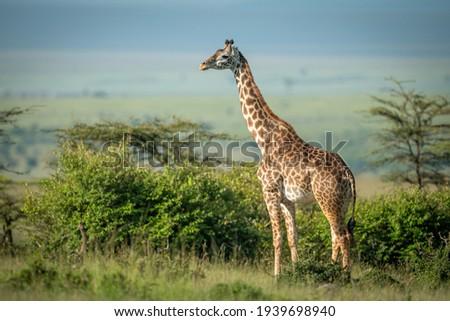 Masai giraffe stands by bushes in sunshine Foto stock ©
