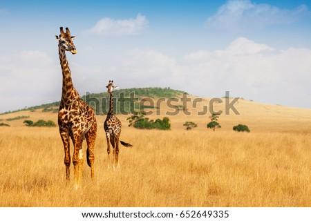 Masai giraffes walking in the dry grass of savanna