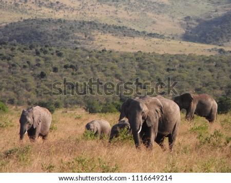 MASAI MARA NATIONAL PARK,  KENYA - CIRCA JUNE 2010  :  Wild ELEPHANT at MASAI MARA NATIONAL PARK,. #1116649214