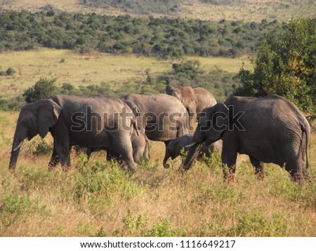 MASAI MARA NATIONAL PARK,  KENYA - CIRCA JUNE 2010  :  Wild ELEPHANT at MASAI MARA NATIONAL PARK,. #1116649217