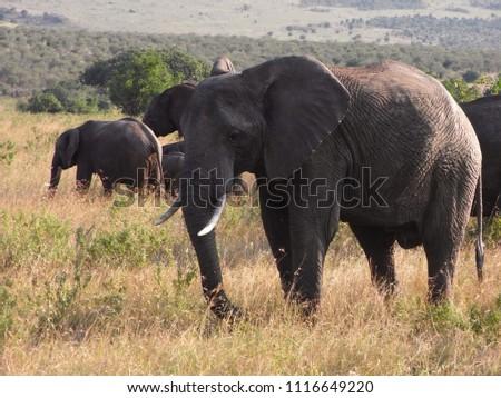 MASAI MARA NATIONAL PARK,  KENYA - CIRCA JUNE 2010  :  Wild ELEPHANT at MASAI MARA NATIONAL PARK,. #1116649220