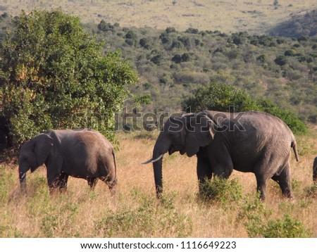 MASAI MARA NATIONAL PARK,  KENYA - CIRCA JUNE 2010  :  Wild ELEPHANT at MASAI MARA NATIONAL PARK,. #1116649223