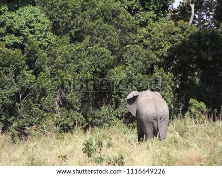 MASAI MARA NATIONAL PARK,  KENYA - CIRCA JUNE 2010  :  Wild ELEPHANT at MASAI MARA NATIONAL PARK,. #1116649226
