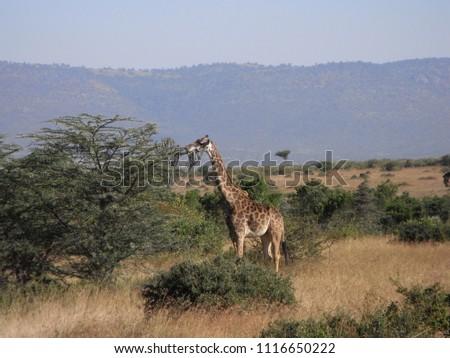 MASAI MARA NATIONAL PARK,  KENYA - CIRCA JUNE 2010  :  Wild GIRAFFE at MASAI MARA NATIONAL PARK. #1116650222