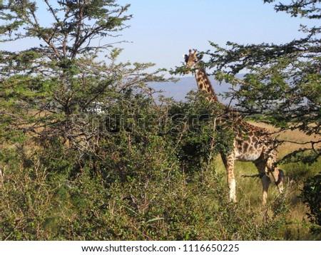 MASAI MARA NATIONAL PARK,  KENYA - CIRCA JUNE 2010  :  Wild GIRAFFE at MASAI MARA NATIONAL PARK. #1116650225