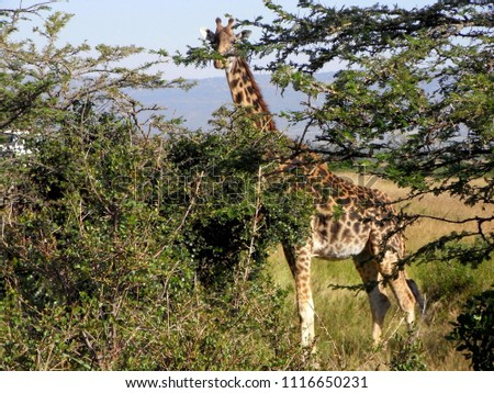 MASAI MARA NATIONAL PARK,  KENYA - CIRCA JUNE 2010  :  Wild GIRAFFE at MASAI MARA NATIONAL PARK. #1116650231