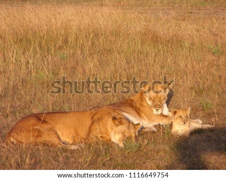 MASAI MARA NATIONAL PARK,  KENYA - CIRCA JUNE 2010  :  Wild LION at MASAI MARA NATIONAL PARK,. #1116649754