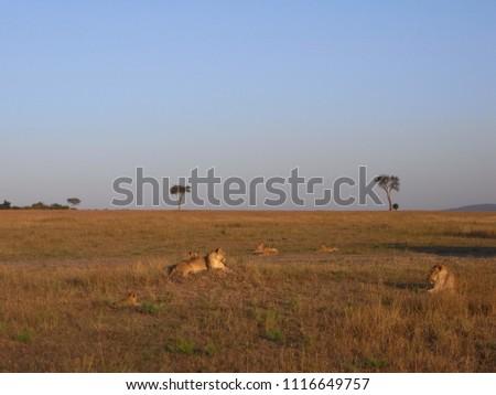 MASAI MARA NATIONAL PARK,  KENYA - CIRCA JUNE 2010  :  Wild LION at MASAI MARA NATIONAL PARK,. #1116649757