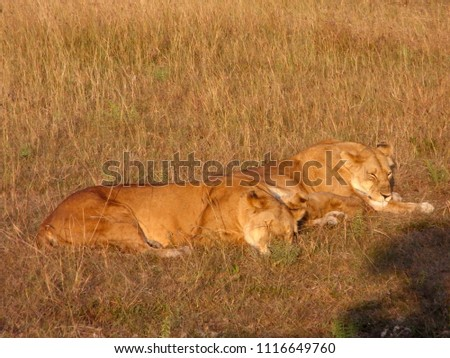 MASAI MARA NATIONAL PARK,  KENYA - CIRCA JUNE 2010  :  Wild LION at MASAI MARA NATIONAL PARK,. #1116649760