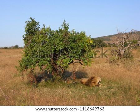MASAI MARA NATIONAL PARK,  KENYA - CIRCA JUNE 2010  :  Wild LION at MASAI MARA NATIONAL PARK,. #1116649763