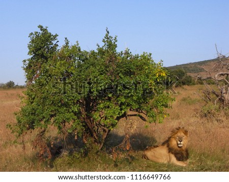 MASAI MARA NATIONAL PARK,  KENYA - CIRCA JUNE 2010  :  Wild LION at MASAI MARA NATIONAL PARK,. #1116649766