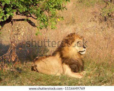 MASAI MARA NATIONAL PARK,  KENYA - CIRCA JUNE 2010  :  Wild LION at MASAI MARA NATIONAL PARK,. #1116649769