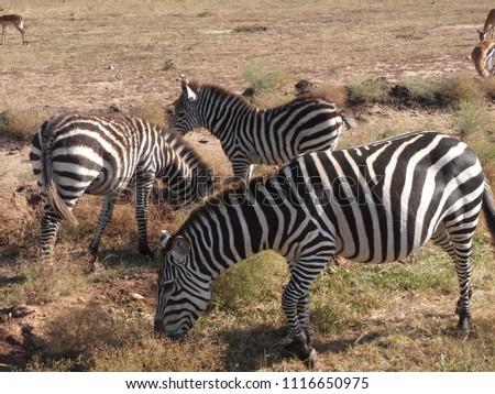 MASAI MARA NATIONAL PARK,  KENYA - CIRCA JUNE 2010  :  Wild ZEBRA at MASAI MARA NATIONAL PARK. #1116650975