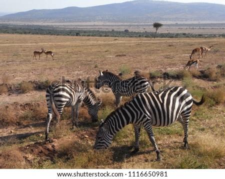 MASAI MARA NATIONAL PARK,  KENYA - CIRCA JUNE 2010  :  Wild ZEBRA at MASAI MARA NATIONAL PARK. #1116650981