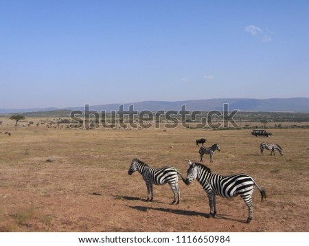 MASAI MARA NATIONAL PARK,  KENYA - CIRCA JUNE 2010  :  Wild ZEBRA at MASAI MARA NATIONAL PARK. #1116650984