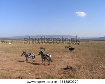 MASAI MARA NATIONAL PARK,  KENYA - CIRCA JUNE 2010  :  Wild ZEBRA at MASAI MARA NATIONAL PARK. #1116650990