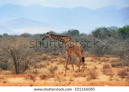 Masai race giraffe in the African bush near Amboseli national park at dry season at early morning, Kenya