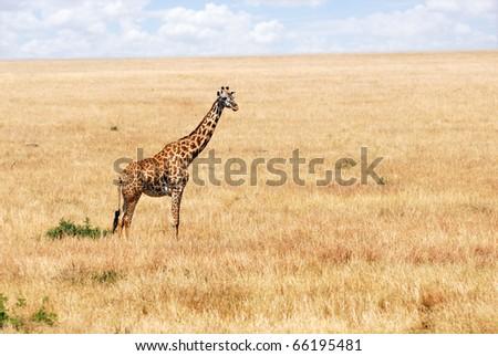 Masai race giraffe in the Masai-Mara national park, Kenya