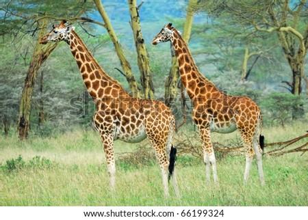 masai race giraffes in the Lake Nakuru national park