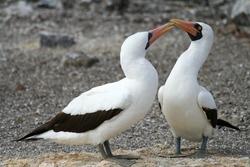 Masked Boobies - Galapagos Islands