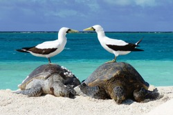 Masked boobies stand on sea turtles in Hawaii.