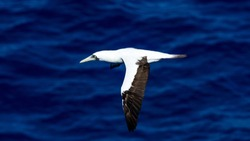 Masked Booby Flying over Water