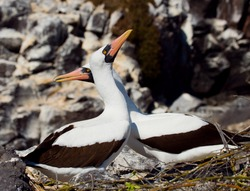 Masked booby. Two birds on the nest. Close-up. Galapagos. An excellent illustration.
