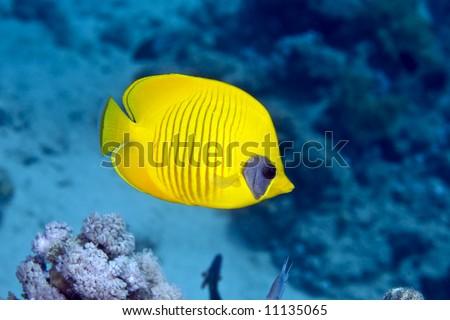 Masked Butterfly Fish (Chaetodon semilarvatus)